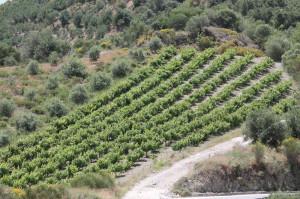 Weinberg in Griechenland