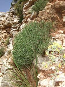 "Wilder Oregano (""Regani"") an einem Berghang auf dem Epirus"