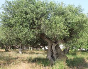 Einer der unzähligen uralten Olivenbäume in Griechenland