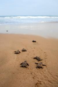 Baby-Carettas auf dem Weg zum Meer