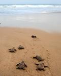 Baby-Schildkröten auf dem Weg ins Meer